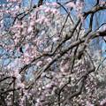 府中市郷土の森【梅の花:藤牡丹枝垂】3