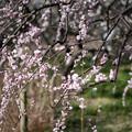 府中市郷土の森【梅の花:藤牡丹枝垂】4