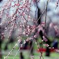 府中市郷土の森【梅の花:藤牡丹枝垂】5銀塩