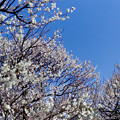 Photos: 府中市郷土の森【梅の花:白加賀】1銀塩