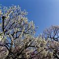 府中市郷土の森【梅の花:白加賀】2銀塩