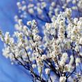 府中市郷土の森【梅の花:白加賀】3銀塩