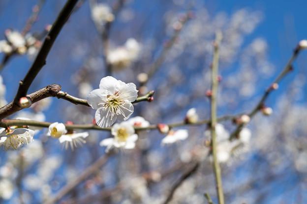 府中市郷土の森【梅の花:白加賀】4
