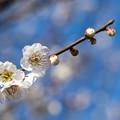Photos: 府中市郷土の森【梅の花:白加賀】5