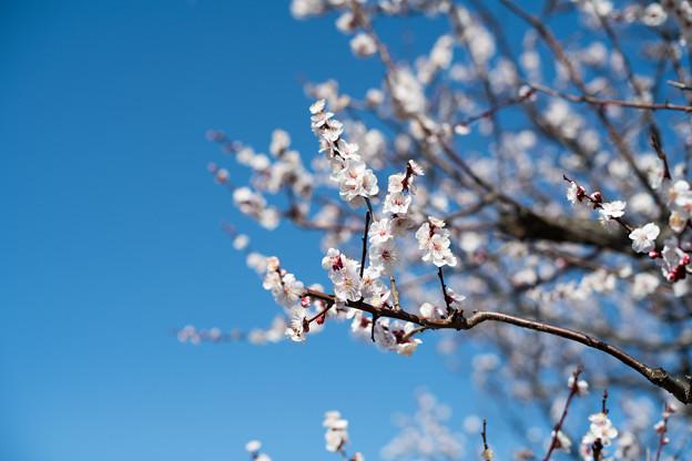 府中市郷土の森【梅の花:豊後】1
