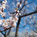 府中市郷土の森【梅の花:豊後】2