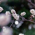 府中市郷土の森【梅の花:豊後】3銀塩