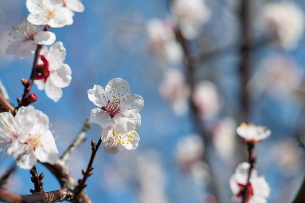 府中市郷土の森【梅の花:豊後】4