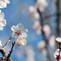 Photos: 府中市郷土の森【梅の花:豊後】4