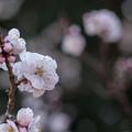 府中市郷土の森【梅の花:豊後】5