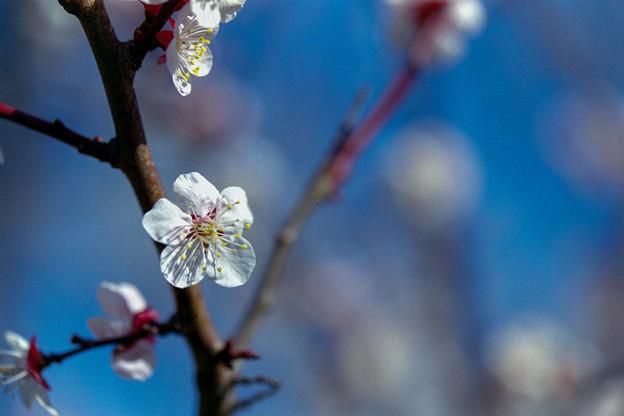 府中市郷土の森【梅の花:豊後】6銀塩