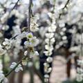 府中市郷土の森【梅の花:月影枝垂】3