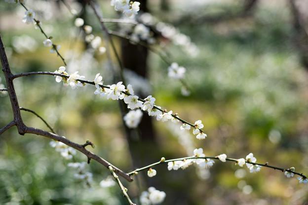 府中市郷土の森【梅の花:月影枝垂】4
