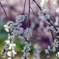 府中市郷土の森【梅の花:月影枝垂】6銀塩