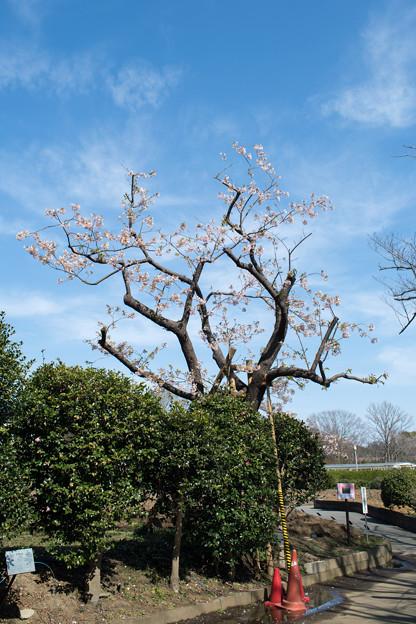 大船フラワーセンター【玉縄桜の原木】1