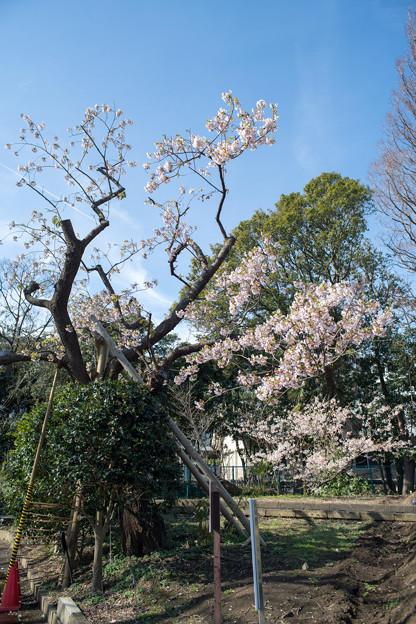 大船フラワーセンター【玉縄桜の原木】2
