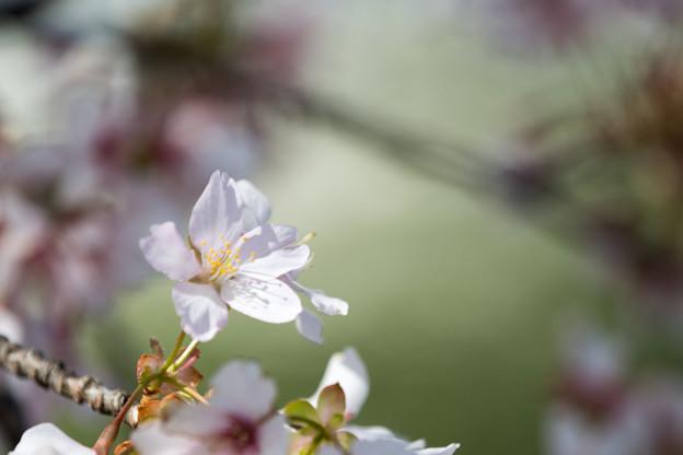 大船フラワーセンター【玉縄桜】アップ4