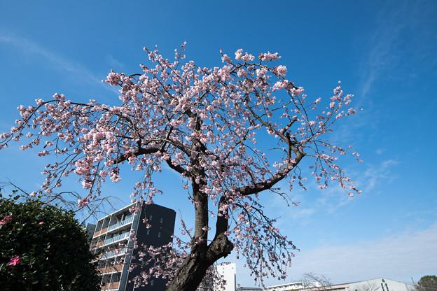 大船フラワーセンター【大寒桜】1