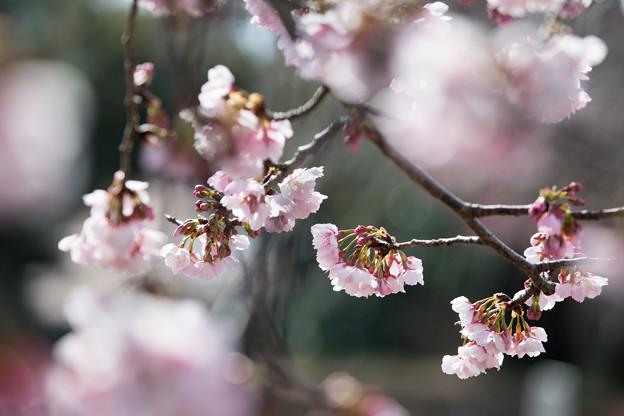 大船フラワーセンター【大寒桜】4