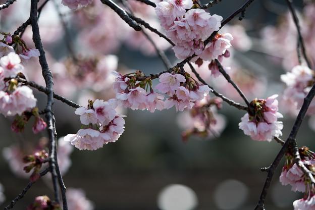 大船フラワーセンター【大寒桜】5