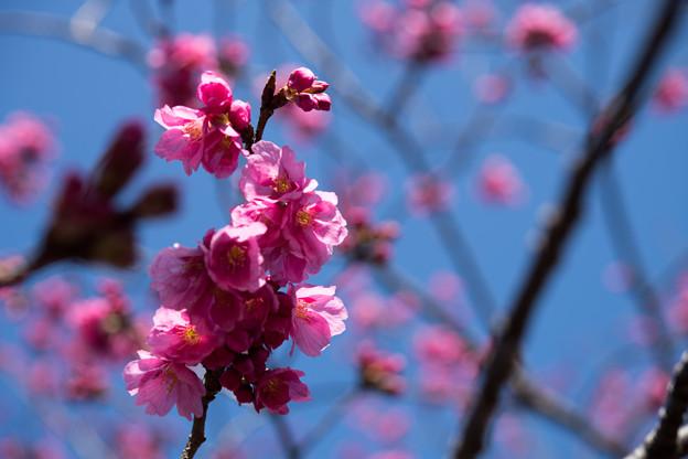 大船フラワーセンター【赤色系の大寒桜】2