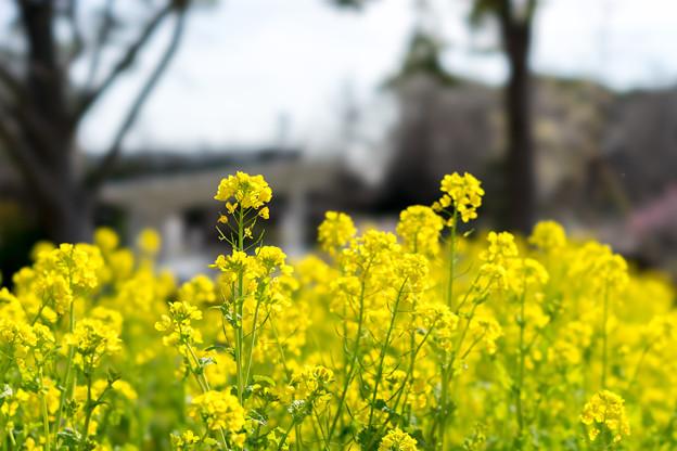 大船フラワーセンター【菜の花】1