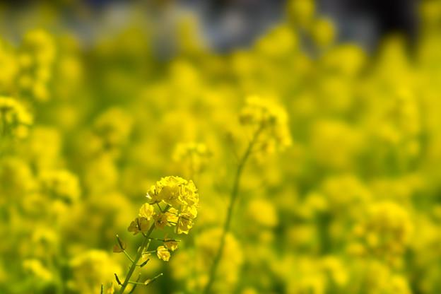 大船フラワーセンター【菜の花】2