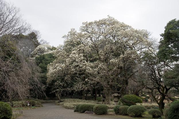 早春の新宿御苑【ハクモクレン】2
