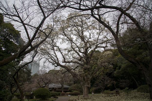 早春の新宿御苑【ハクモクレン】3