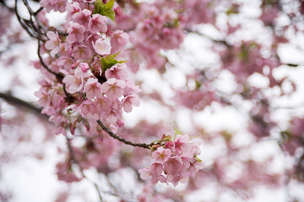 早春の新宿御苑【サクラ:修善寺寒桜】3