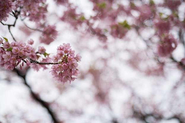 早春の新宿御苑【サクラ:修善寺寒桜】4