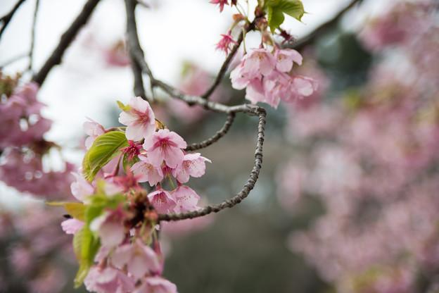 早春の新宿御苑【サクラ:修善寺寒桜】5