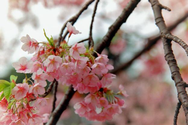 早春の新宿御苑【サクラ:修善寺寒桜】6銀塩