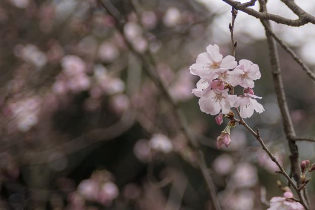 早春の新宿御苑【サクラ:高遠小彼岸】2