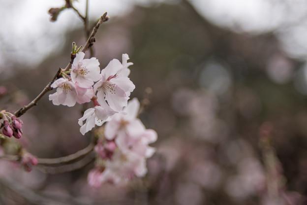 早春の新宿御苑【サクラ:高遠小彼岸】3