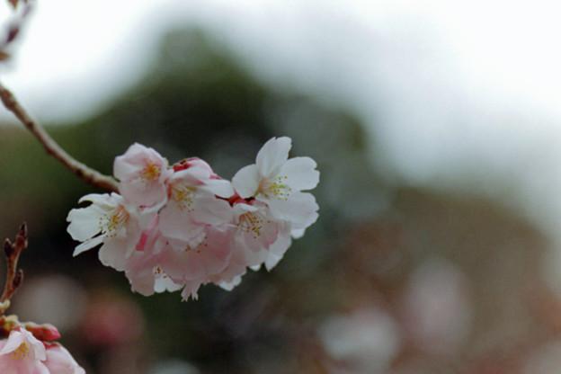 早春の新宿御苑【サクラ:高遠小彼岸】5銀塩