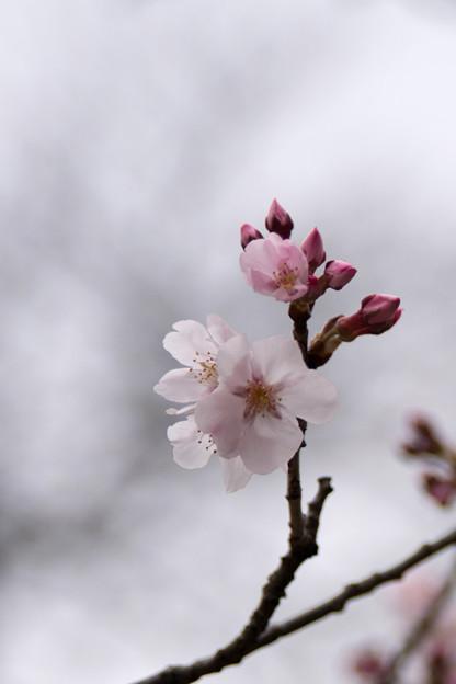 早春の新宿御苑【サクラ:高遠小彼岸】6