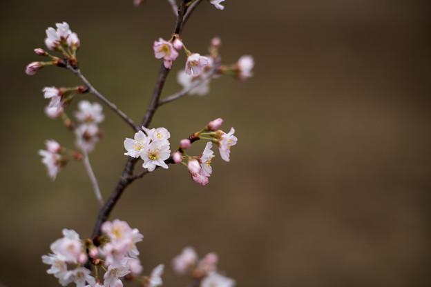 早春の新宿御苑【サクラ:啓翁桜】1
