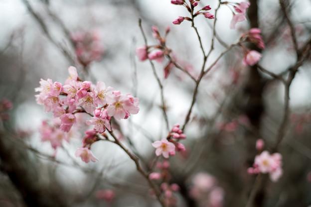 早春の新宿御苑【サクラ:啓翁桜】2