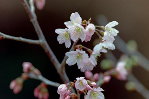 早春の新宿御苑【サクラ:啓翁桜】3銀塩