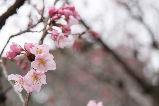 早春の新宿御苑【サクラ:啓翁桜】4