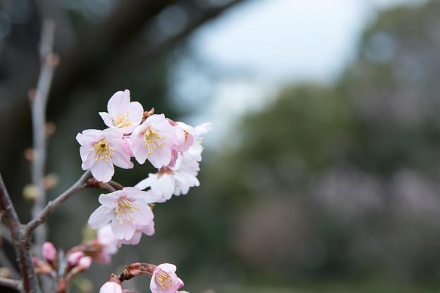早春の新宿御苑【サクラ:啓翁桜】5