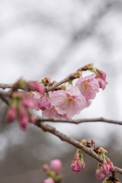 早春の新宿御苑【サクラ:陽光】2