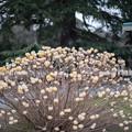 Photos: 早春の新宿御苑【ミツマタ】3