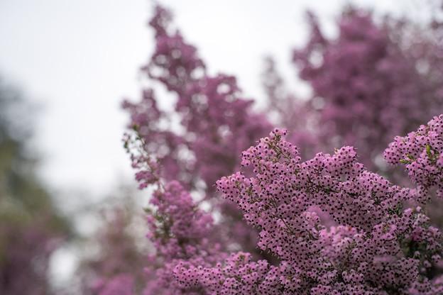 早春の新宿御苑【ジャノメエリカ】4