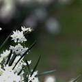 Photos: 早春の新宿御苑【スイセン】3銀塩