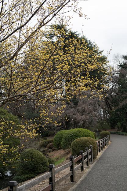 早春の新宿御苑【サンシュユ】1