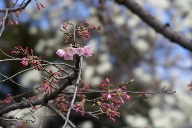 早春の神代植物公園【サクラ:神代曙】1