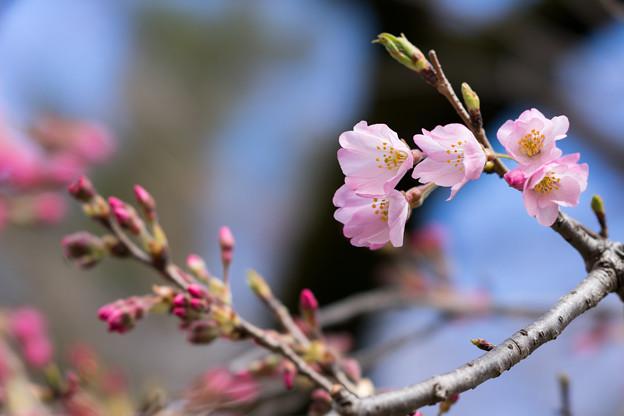 早春の神代植物公園【サクラ:神代曙】2