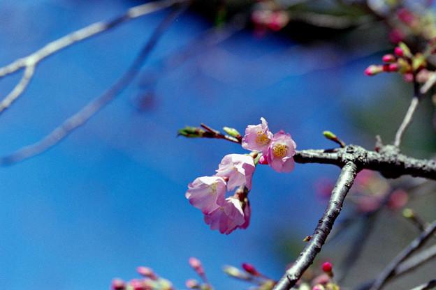早春の神代植物公園【サクラ:神代曙】3銀塩